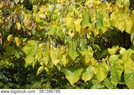 Green And Yellow Leaves Of Cercis Canadensis In September