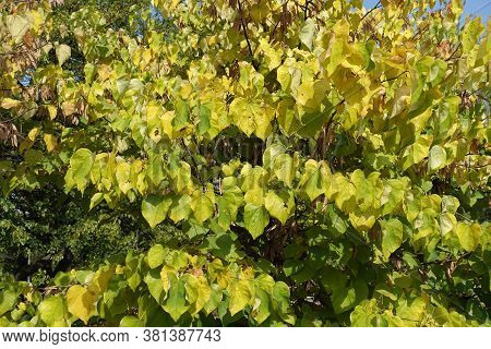 Yellow And Green Foliage Of Cercis Canadensis In September