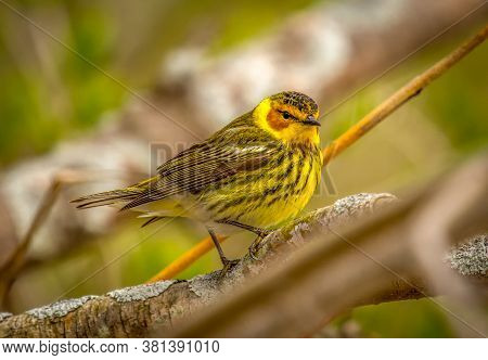A Beautiful Male Cape May Warbler In Full Breeding Splendor Rests On A Branch As It Migrates Through