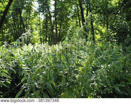 Thickets Of Stinging Nettle In The Forest