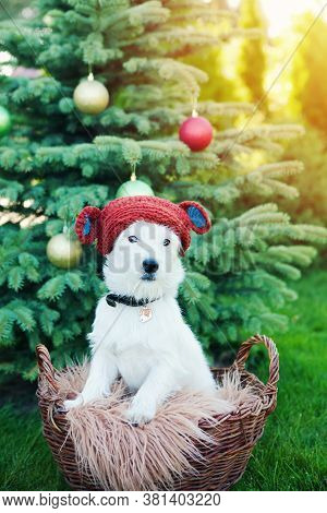 Cute Dog Breed Jack Russell Broken In Knitted Toy Bear Hat Sits In Basket On Background Of Christmas
