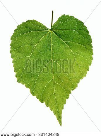 Green birch leaf, back light, isolated on white background