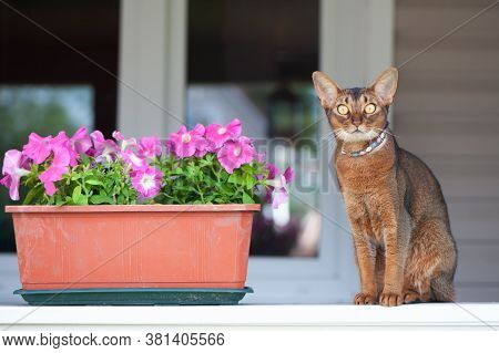 Abyssinian Cat In Collar, Sitting On A Terrace With Flowers . High Quality Advertising Stock Photo.