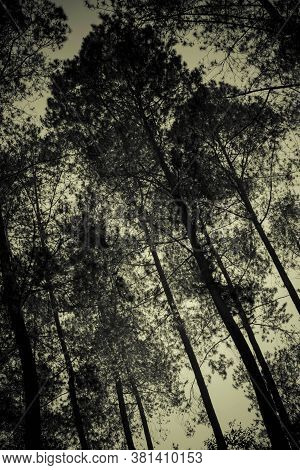 The Silhouetted Natural Beauty Of The Pine Forest In A Dark View