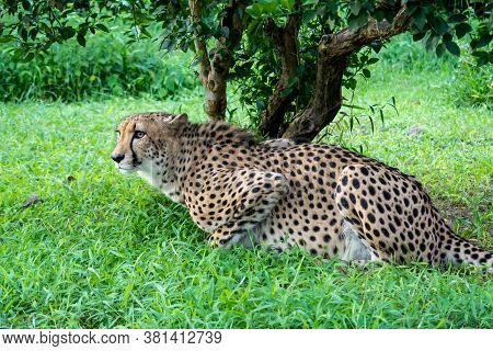 Cheetah Big Cat (latin: Acinonyx Jubatus) In The Grass Hunting And Waiting For Its Prey Under The Gr