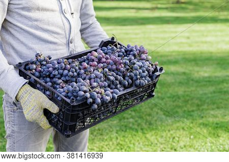 Man Holds Box Of Ripe Bunches Of Black Grapes Outdoors. Autumn Grapes Harvest In Vineyard Ready To D