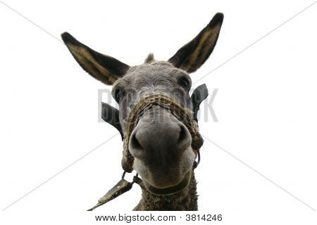 A donkey isolated on white background. Close-up. poster