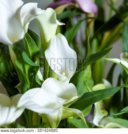 Arum Lily Flower Plant Close Up With Isolated Background