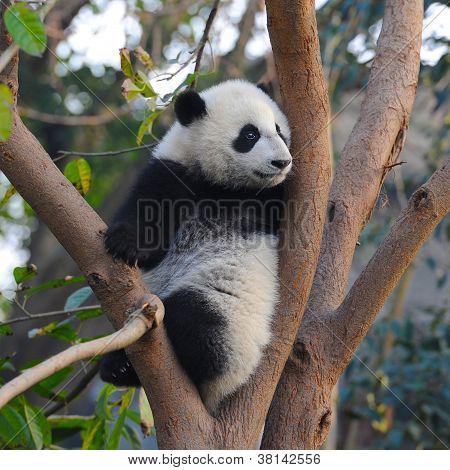 Chinese giant panda bear climbing in tree poster