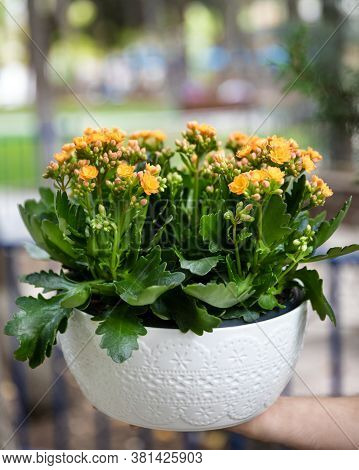 Kalanchoe, Widow's-thrill In The White Pot Outside
