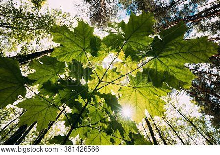 Bottom View Of Sunshine Through Spring Green Maples Foliage. Sun Sunrays Shine Through Fresh Vegetat