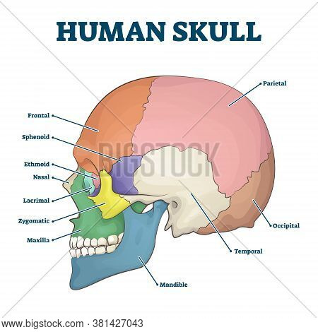 Human Skull Bones Skeleton Labeled Educational Scheme Vector Illustration. Anatomical Head Zones Sep