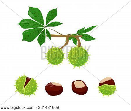Chestnuts Set On White Background. Leaves, Peel And Seeds Of Chestnut. Vector Illustration.