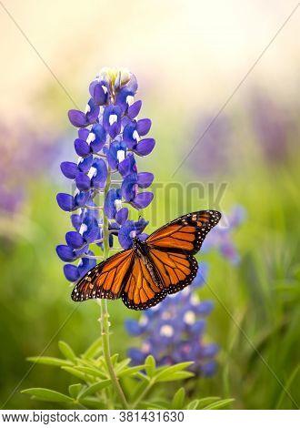 Monarch Butterfly (danaus Plexippus) On Texas Bluebonnet Flower (lupinus Texensis). Texas Concept Wi