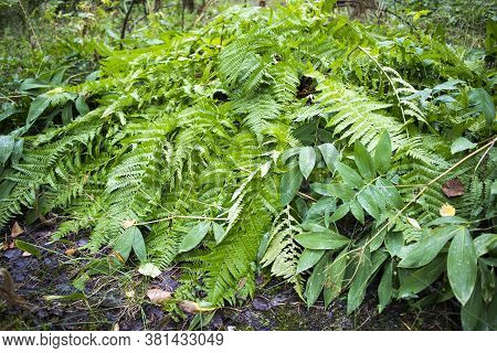 Fern Thickets And Lily Of The Valley Leaves In Rain In The Forest In Karelia
