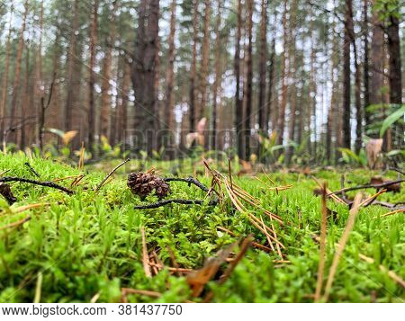 Green Moss On The Background Of The Forest. Pine Cone With Dry Leaves On The Moss. Beautiful Green M