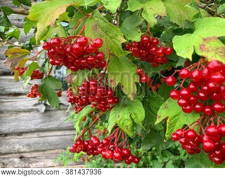 Clusters Of Red Viburnum Berries On A Branch With Leaves In The Garden. Reddening Berries On A Branc