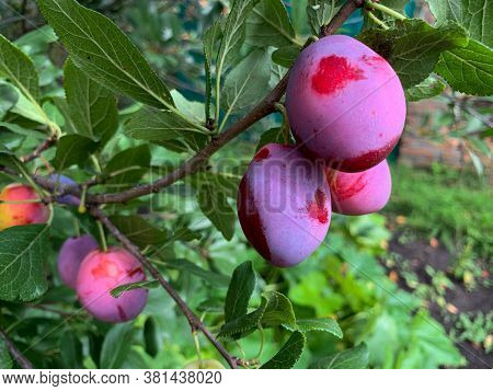 Plum Tree With Ripe Plum Fruit. Close-up Of Plums Ripened On A Branch. The Harvest Of Plums. Fruit,