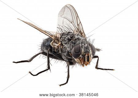 Blue Bottle Fly Species Calliphora Vomitoria