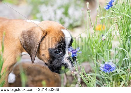 8 Weeks Young Purebred Golden Puppy German Boxer Dog Smelling Flowers In Nature