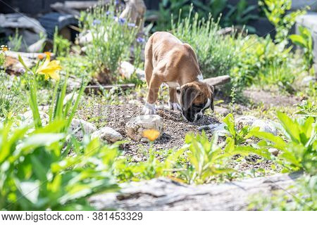 8 Weeks Young Purebred Golden Puppy German Boxer Dog Exploring Nature