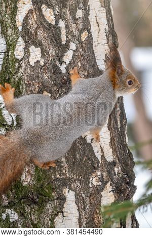 Portrait Of A Squirrel On A Tree Trunk. Squirrel Creeps On A Birch In The Winter. Eurasian Red Squir