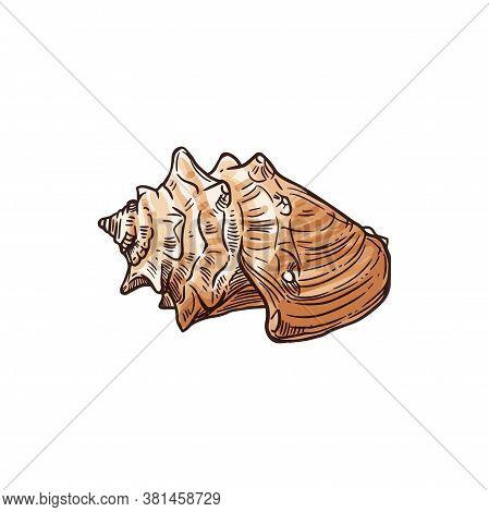 Florida Fighting Conch Isolated Strombus Alatus Sketch. Ve Tor Sea Snail, Marine Gastropod Mollusk