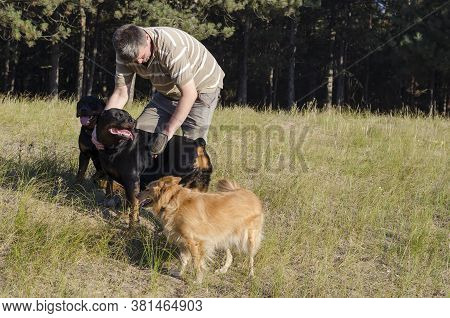 An Adult Man With A Special Mitten Combs And Massages Rottweiler Dogs During A Walk. Outdoor Brushin