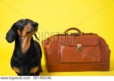 Obedient Dachshund Dog Lies Next To Brown Vintage Suitcase And Looks Up On Yellow Background, Front