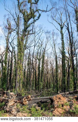 Australian Bushfires Aftermath: Eucalyptus Trees Damaged By The Fire Recovering Six Months After Sev