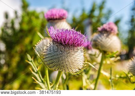 View At The Flowers Of Milk Thistle (silybum Marianum) In Bayern Mountains Near Rauchsberg ,germany