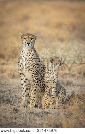 Adult Female Cheetah And Her Juvenile Cub In A Vertical Full Body Portrait With Orange Smooth Backgr