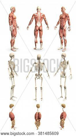 9 Detailed Renders In 1, Mans Body With Muscle Map And Skeleton And Organs - Physiology Examination