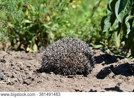 A Wild Hedgehog In The Garden Curled Up Into A Ball.
