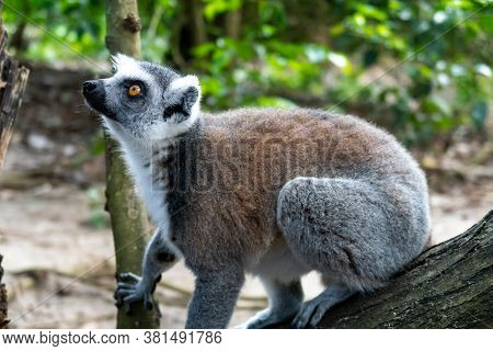 Curious Furry White And Grey Lemur (latin: Lemur Catta) Sitting On The Tree. Cheetah's Rock, Animal