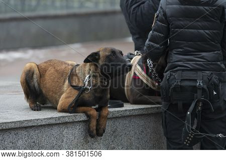Police Belgian Shepherd War-dog Lies With Flat Ears At Police Officers