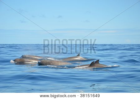 North Atlantic Bottlenose Whales