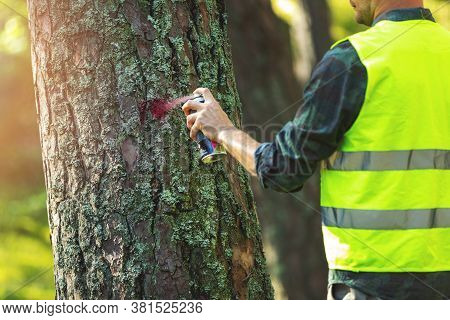 Logging Industry - Forestry Engineer Marking Tree Trunk With Red Spray For Cutting In Deforestation