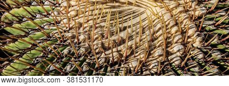 Panoramic Image Of Spines On Cactus, Background Cactus With Spines