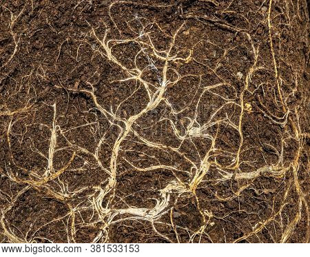 Earth From Pots With The Bare Dried Roots Of Seedlings Texture Background, Dry Root Tangle Or Root S