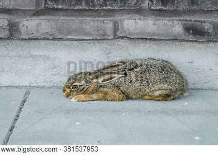 Baby Hare Relaxing Outside A Brick House. Cute Young Hare Relaxing On A Footpath In The Summer. Cute