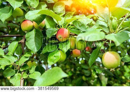 Fruit Trees With Harvest Ripe Red Apples Summer Season. Organic Fruit Harvest