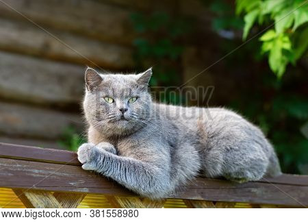 Gray Purebred Shorthair Cat On The Background Of A Log Wall. Close Up.