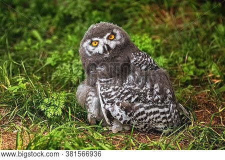 Image Of Chick Of Snowy Owl (bubo Scandiacus)