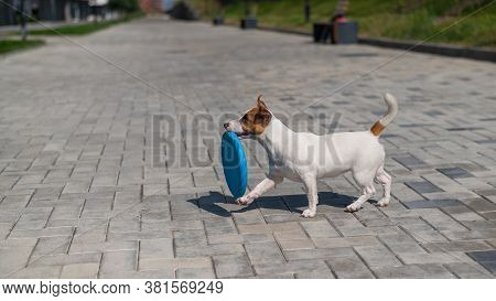 Funny Jack Russell Terrier Plays With A Blue Flying Plastic Disc Outdoors. An Active, Playful Little
