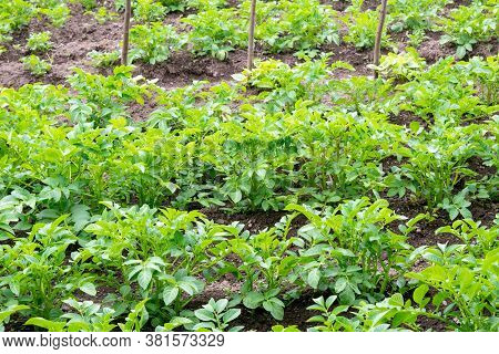 Close-up View Of The Green Vernal Sprouts Of Potato Plant Or Solanum Tuberosum Growing On Plantation