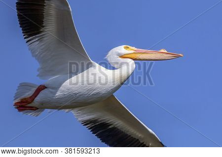 A Beautiful Adult American White Pelican In Breeding Condition Is Soaring Against A Deep Blue Florid