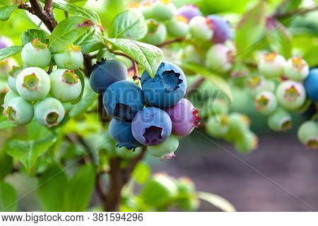 Northern Blueberry Or Sweet Hurts (vaccinium Boreale) Cultivated At Bio Farm