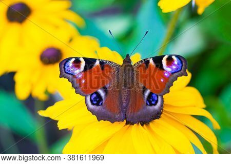 The Urticaria Butterfly Sits On A Yellow Flower . Beautiful Butterfly. Insect . Insect On A Flower.