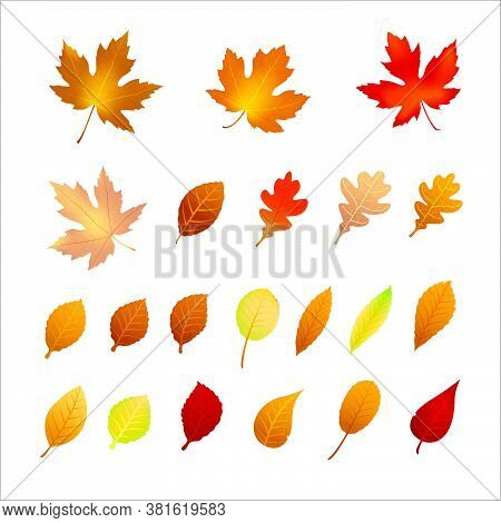 Collection Of Autumn Leaf Isolated On White Background, Dry Of Maple Leaf, For Autumn Design Element